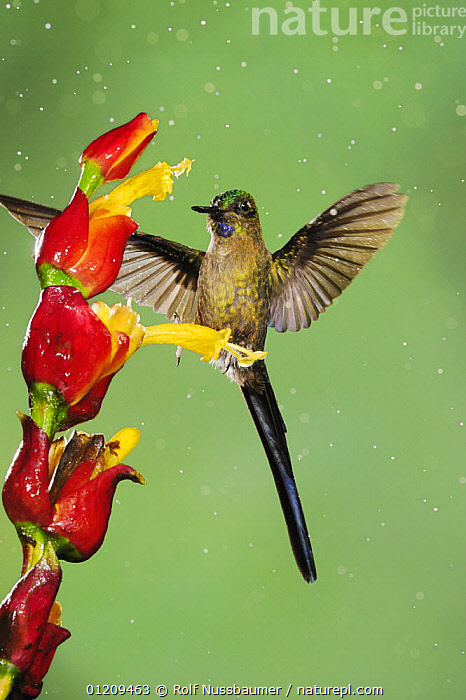 Violet-tailed Sylph (Aglaiocercus coelestis), male feeding on ginger flower in rain, Mindo, Ecuador, Andes, South America, January  ,  BIRDS,CLOUDFOREST,DROPS,FEEDING,FLYING,HUMMINGBIRD,HUMMINGBIRDS,MALES,RAINING,SOUTH AMERICA,TROPICAL RAINFOREST,VERTEBRATES,VERTICAL,WATER,Catalogue1,Weather  ,  Rolf Nussbaumer