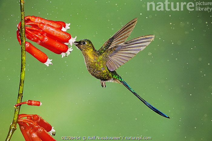 Violet-tailed Sylph (Aglaiocercus coelestis), male feeding on flower in rain, Mindo, Ecuador, Andes, South America, January  ,  BIRDS,CLOUDFOREST,DROPS,FEEDING,FLYING,HUMMINGBIRD,HUMMINGBIRDS,MALES,PROFILE,RAINING,SOUTH AMERICA,TROPICAL RAINFOREST,VERTEBRATES,WATER  ,  Rolf Nussbaumer
