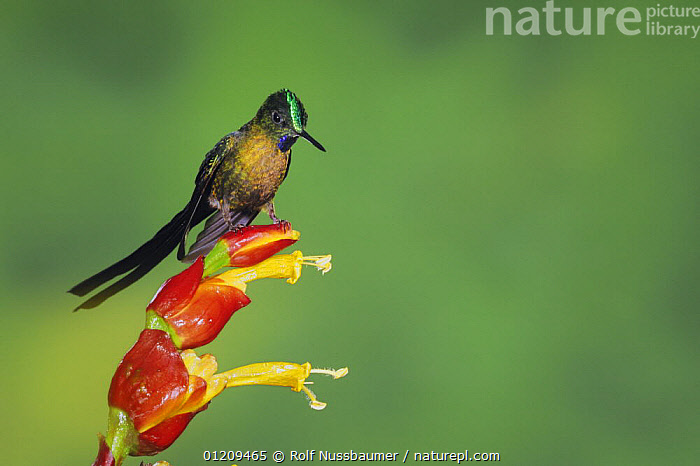 Violet-tailed Sylph (Aglaiocercus coelestis), male perched on ginger flower, Mindo, Ecuador, Andes, South America, January  ,  BIRDS,CLOUDFOREST,HUMMINGBIRD,HUMMINGBIRDS,MALES,SOUTH AMERICA,TROPICAL RAINFOREST,VERTEBRATES,VERTICAL  ,  Rolf Nussbaumer