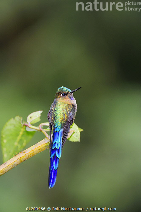 Violet-tailed Sylph (Aglaiocercus coelestis), male perched, Mindo, Ecuador, Andes, South America, January  ,  BIRDS,BLUE,CLOUDFOREST,HUMMINGBIRD,HUMMINGBIRDS,IRRIDESCENT,MALES,SOUTH AMERICA,TROPICAL RAINFOREST,VERTEBRATES,VERTICAL  ,  Rolf Nussbaumer