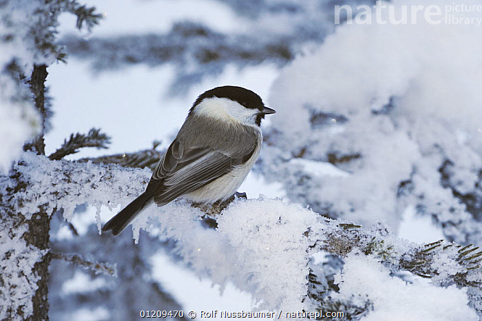 Willow Tit (Poecile montanus) adult perched on frost covered Norway Spruce at minus 15 Celsius, St. Moritz, Switzerland, December  ,  abies, alps, BIRDS, EUROPE, FROST, ICE, SNOW, Switzerland, TITS, VERTEBRATES, WINTER,Weather  ,  Rolf Nussbaumer