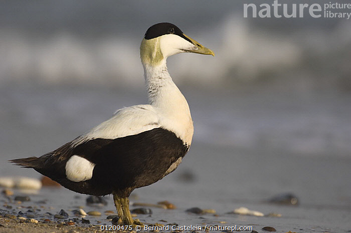 Male eider duck (Somateria mollissima), 