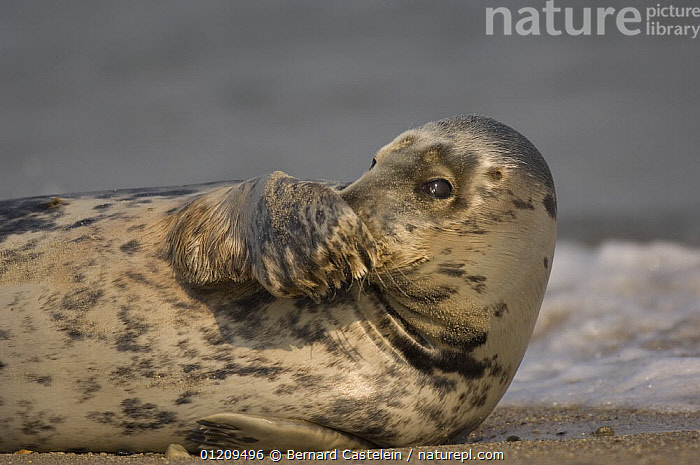 Grey seal (Halichoerus grypus) covering nose with flipper, Helgoland, Germany  ,  BEACHES,BRITISH,CARNIVORES,CUTE,EUROPE,HANDS,HEADS,HELIGOLAND,MAMMALS,MARINE,PINNIPEDS,PLAY,PORTRAITS,SEALS,TEMPERATE,VERTEBRATES,Communication, CARNIVORES , CARNIVORES,,Helgoland,  ,  Bernard Castelein