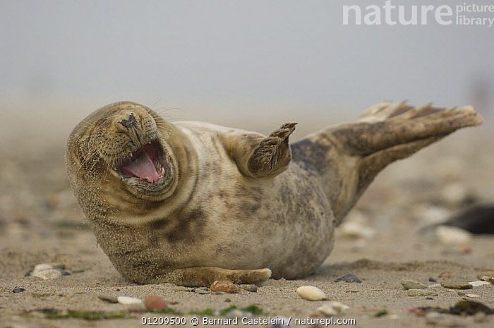Young grey seal (Halichoerus grypus) lying on sand, Helgoland, Germany  ,  BABIES,BEACHES,BRITISH,CARNIVORES,CUTE,EUROPE,EXPRESSIONS,HAPPY,JUVENILE,LAUGHING,MAMMALS,MARINE,MOUTHS,PINNIPEDS,PLAY,SEALS,SMILING,TEMPERATE,VERTEBRATES,Communication, CARNIVORES , CARNIVORES , CARNIVORES  ,  Bernard Castelein