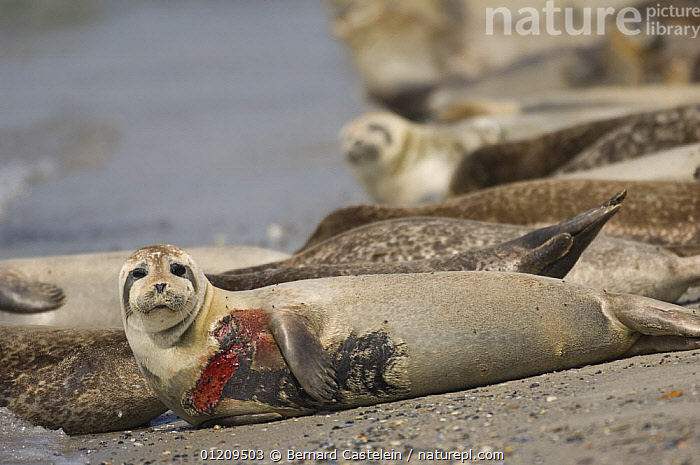 Wounded grey seal (Halichoerus grypus) (probably by a propeller), Helgoland, Germany  ,  BEACHES,BRITISH,EUROPE,HELIGOLAND,INJURED,MAMMALS,MARINE,RESTING,SKIN,TEMPERATE,VERTEBRATES,WOUNDED,,Helgoland,  ,  Bernard Castelein