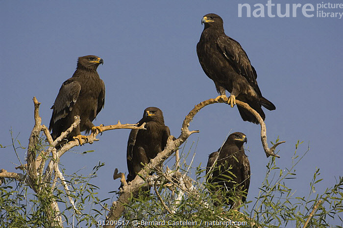 Steppe eagles (Aquila nipalensis) perching on a tree, Bikaner, Rajasthan, India  ,  ASIA,BIRDS,BIRDS OF PREY,BRANCHES,EAGLES,FOUR,GROUPS,INDIA,PERCHING,STANDING,STEPPE,TREES,VERTEBRATES,Grassland,Plants  ,  Bernard Castelein