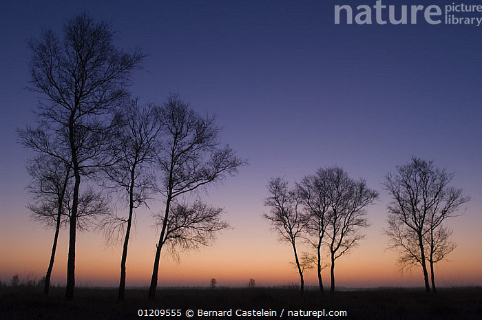 Birches (Betula pendula) silhouetted at sunrise, Groot Schietveld, Wuustwezel, Belgium  ,  BELGIUM,DAWN,EUROPE,LANDSCAPES,SUNRISE,TREES,WINTER,Plants  ,  Bernard Castelein
