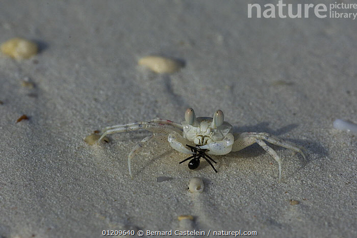 Ghost Crab (Ocypode sp) with Ant prey, Zanzibar, Tanzania  ,  ANTS,ARTHROPODS,BEACHES,BEHAVIOUR,COASTS,CRABS,CRUSTACEANS,FEEDING,GHOST CRABS,INSECTS,INVERTEBRATES,PREDATION,SAND  ,  Bernard Castelein