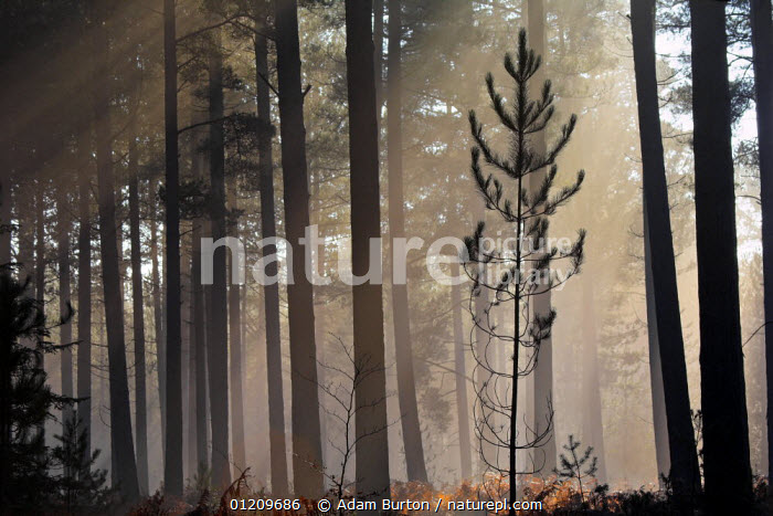 Pine sapling in a misty pine forest, New Forest, Hampshire, England  ,  ATMOSPHERIC,AUTUMN,ENGLAND,EUROPE,GROWTH,LANDSCAPES,MIST,PINACEAE,PINE TREE ,PINUS,TREES,UK,United Kingdom,Concepts,Plants,British  ,  Adam Burton