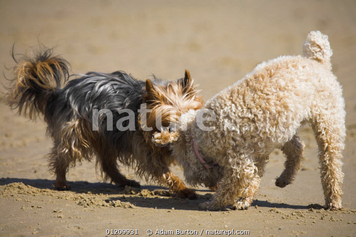Terriers playing on the beach at Studland, Dorset, England  ,  BEACHES,BEHAVIOUR,CAIRN TERRIER ,COASTS,DOGS,ENGLAND,EUROPE,MIXED,PETS,PLAYING,TWO,UK,VERTEBRATES,United Kingdom,British,Canids, United Kingdom, United Kingdom,,Dorset and East Devon Coast, UNESCO World Heritage Site,  ,  Adam Burton