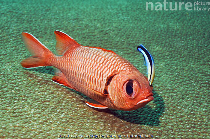 Red soldierfish (Myripristis murdjan) being cleaned by a Bluestreak cleaner wrasse (Labroides dimidiatus), Andaman Sea, Thailand  ,  CLEANER WRASSE ,FISH,INDIAN OCEAN,INDO PACIFIC,LABROIDES DIMIDIATUS ,MARINE,MIXED SPECIES,OSTEICHTHYES,PORTRAITS,SOLDIERFISH,SOUTH EAST ASIA,SYMBIOSIS,THAILAND,TROPICAL,UNDERWATER,VERTEBRATES,WRASSE,Asia,Concepts,Partnership, Partnership,SOUTH-EAST-ASIA, Partnership, Partnership, Partnership,Catalogue1  ,  Georgette Douwma