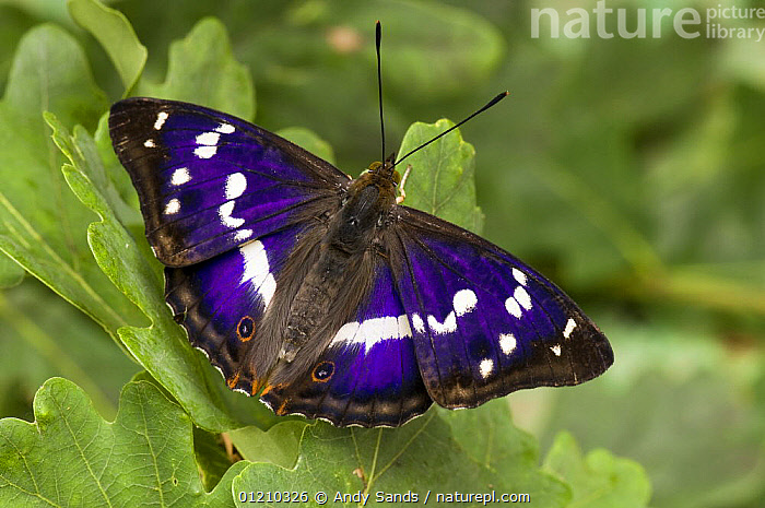 Purple Emperor (Apatura iris) on Oak leaves basking with wings open, Captive, UK, BUTTERFLIES,EUROPE,INSECTS,INVERTEBRATES,LEPIDOPTERA,PORTRAITS,UK,United Kingdom,British, Andy Sands