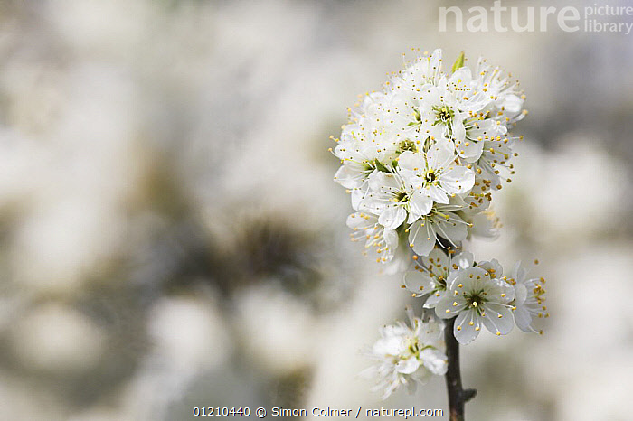 Wild / Sweet cherry (Prunus avium) in bloom, Sussex, UK  ,  BLOSSOM,DICOTYLEDONS,EUROPE,FLOWERS,PLANTS,ROSACEAE,UK,VERTICAL,WHITE,United Kingdom,British, United Kingdom  ,  Simon Colmer
