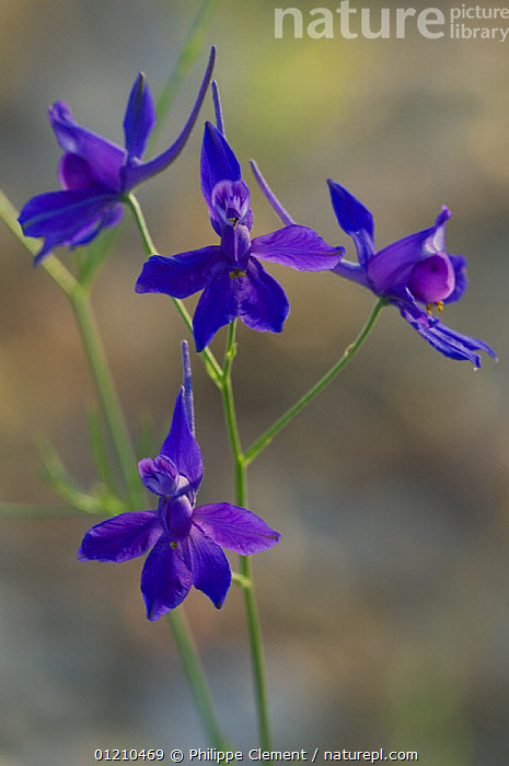 Forking Larkspur / Royal Knight's-spur (Consolida regalis / Delphinium consolida), Provence, France  ,  BLUE,DICOTYLEDONS,EUROPE,FLOWERS,FRANCE,PLANTS,RANUNCULACEAE,VERTICAL  ,  Philippe Clement