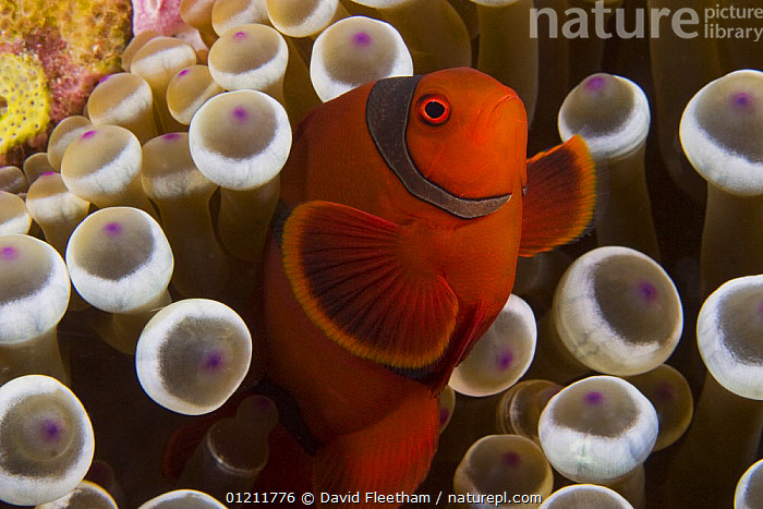 Male spine-cheek anemonefish (Premnas biaculeatus) and sea anemone (Entacmaea quadricolor) Indonesia.  ,  BULB TENTACLE SEA ANEMONE ,DAMSELFISH,ENTACMAEA QUADRICOLOR ,FISH,INDONESIA,INDO PACIFIC,MALES,MARINE,MIXED SPECIES,OSTEICHTHYES,PORTRAITS,SEA ANEMONES,SOUTH EAST ASIA,TROPICAL,UNDERWATER,VERTEBRATES,VERTICAL,Asia,SOUTH-EAST-ASIA  ,  David Fleetham