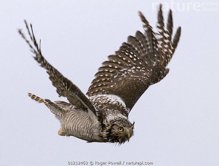 Wet and bedraggled female Hawk Owl {Surnia ulula} in flight, Lapland, Finland, ARCTIC,BIRDS,CUTOUT,EUROPE,FINLAND,FLYING,OWLS,SCANDINAVIA,VERTEBRATES, Roger Powell