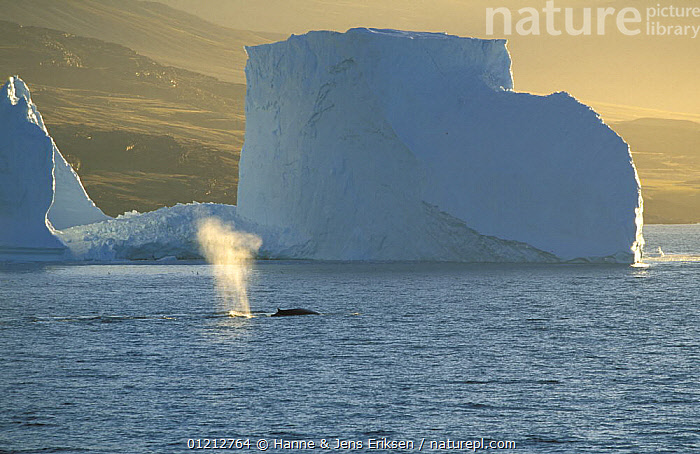 Fin whale {Balaenoptera physalus} spouting in front of iceberg, near Uummannaq, Greenland, ARCTIC,BLOWING,CETACEANS,ENDANGERED,EUROPE,GREENLAND,ICE,ICEBERGS,LANDSCAPES,MAMMALS,RESPIRATION,SEASCAPE,VERTEBRATES,WHALES,Catalogue1,,Baleen whale,, Hanne & Jens Eriksen