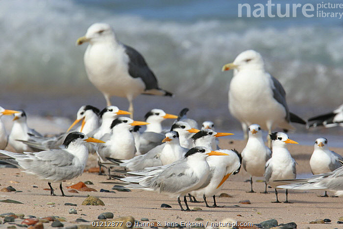 Lesser crested tern {Thalasseus bengalensis} flock on beach, large gulls and waves in background, Socotra, Yemen, ARABIA, BEACHES, BIRDS, COASTS, FLOCKS, GROUPS, Gull, MIDDLE-EAST, MIXED-SPECIES, SEABIRDS, seagull, TERNS, VERTEBRATES, Hanne & Jens Eriksen