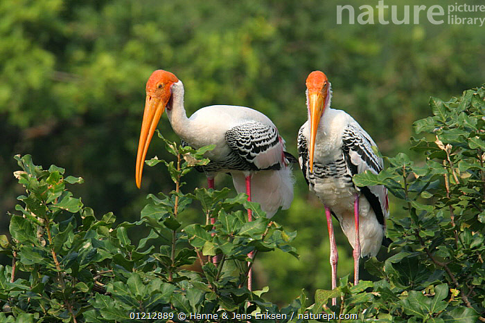 Nature Picture Library - Painted stork {Mycteria leucocephala} pair