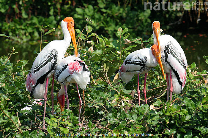 Nature Picture Library - Painted stork {Mycteria