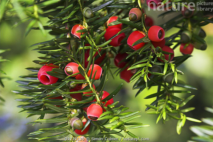 Common yew tree (Taxus baccata) berries. Levin Down NR, Sussex, UK  ,  CONIFERS,EUROPE,GYMNOSPERMS,PLANTS,RED,TAXACEAE,UK,United Kingdom,British, United Kingdom  ,  Simon Colmer