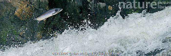 Atlantic salmon {Salmo salar} leaping up Cassley Falls, Scoltand, UK, composite  ,  BEHAVIOUR,EUROPE,FISH,JUMPING,MARINE,MIGRATION,OSTEICHTHYES,RIVERS,SALMON,SCOTLAND,SPRAY,UK,VERTEBRATES,WATER,WATERFALLS,United Kingdom,British, United Kingdom, United Kingdom  ,  Ian McCarthy