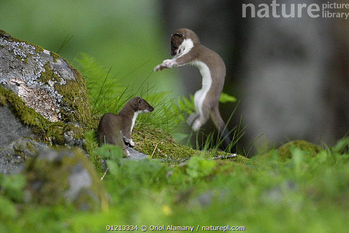 Stoat / Ermine (Mustela erminea) two juveniles playing, Aran valley, Pyrenees, Spain  ,  ACTION,BABIES,BEHAVIOUR,CARNIVORES,EUROPE,JUMPING,JUVENILE,MAMMALS,MUSTELIDS,PLAY,SPAIN,TWO,VERTEBRATES,WEASELS,Communication  ,  Oriol Alamany