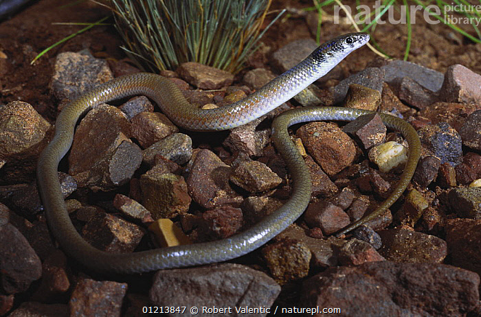 Rusty topped delma legless lizard {Delma borea} leaves the security of dense Hummock grass to hunt insects at night, East Kimberley, Western Australia, AUSTRALIA,LEGLESS LIZARDS,LIZARDS,REPTILES,VERTEBRATES, Robert Valentic