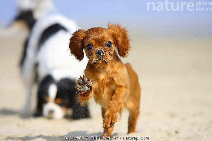 Cavalier King Charles Spaniel, puppy, 14 weeks, ruby, running on beach with adult in background, BEACHES,BEHAVIOUR,DOGS,JUMPING,OUTDOORS,PETS,PLAY,PLAYING,RUNNING,SMALL DOGS,TOY DOGS,Communication,Canids, Petra Wegner