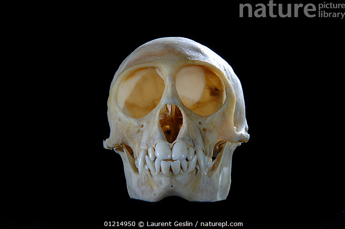 Skull and teeth of Blue monkey {Cercopithecus mitis}, BONES,GUENONS,MAMMALS,MONKEYS,PRIMATES,SKELETON,SKULLS,VERTEBRATES,Catalogue1F, Laurent Geslin