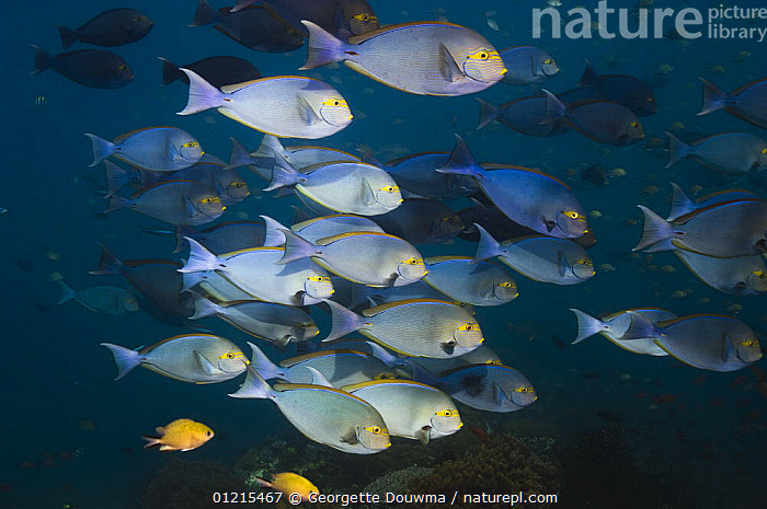 Bluespine surgeonfish (Naso unicornis) school. These fish can rapidly change colour, Rinca, Indonesia  ,  FISH,GROUPS,INDO PACIFIC,MARINE,OSTEICHTHYES,SURGEONFISH,TROPICAL,UNDERWATER,VERTEBRATES,SOUTH-EAST-ASIA,Asia,,NP,Komodo National Park,UNESCO World Heritage Site,  ,  Georgette Douwma
