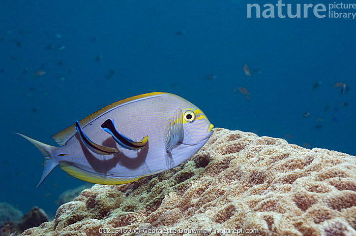 Elongate surgeonfish (Acanthurus mata) being cleaned by a pair of Cleaner wrasse (Lutjanus dimidiatus). Bali, Indonesia, BEHAVIOUR,CLEANING,FISH,INDO PACIFIC,MARINE,MIXED SPECIES,OSTEICHTHYES,SURGEONFISH,SYMBIOSIS,TROPICAL,UNDERWATER,VERTEBRATES,Concepts,Partnership,SOUTH-EAST-ASIA,Asia, Partnership, Partnership, Georgette Douwma