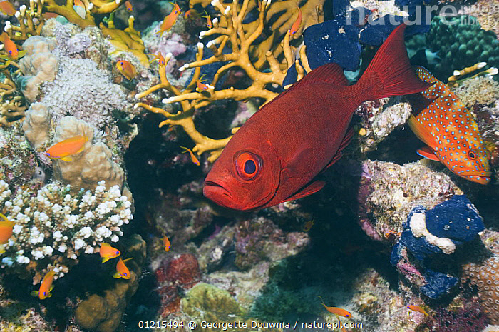 Big-eye / Goggle-eye (Priacanthus hamrur) on coral reef, Egypt, Red Sea  ,  BIGEYES, CORAL-REEFS, EYES, FISH, MARINE, OSTEICHTHYES, RED-SEA, TROPICAL, UNDERWATER, VERTEBRATES,NORTH-AFRICA,Africa  ,  Georgette Douwma