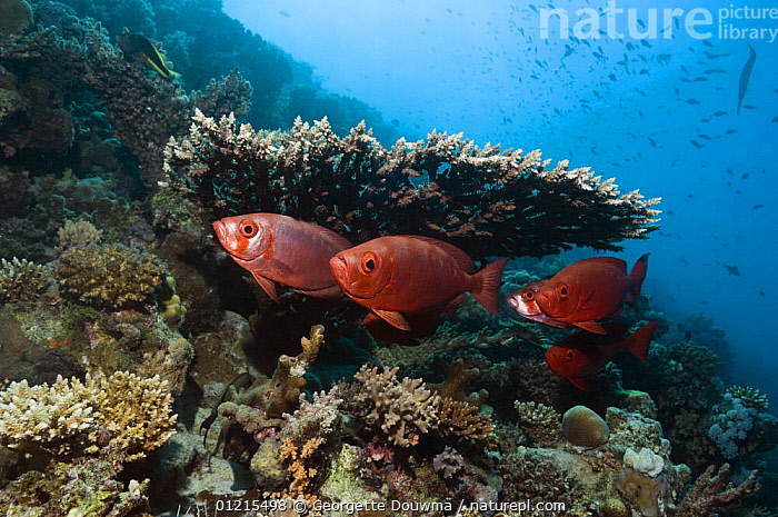 Big-eye / Goggle-eye (Priacanthus hamrur). Can change colour from deep red to silver. Egypt, Red Sea  ,  BIGEYES, CORAL-REEFS, FISH, GROUPS, MARINE, OSTEICHTHYES, RED-SEA, TROPICAL, UNDERWATER, VERTEBRATES  ,  Georgette Douwma