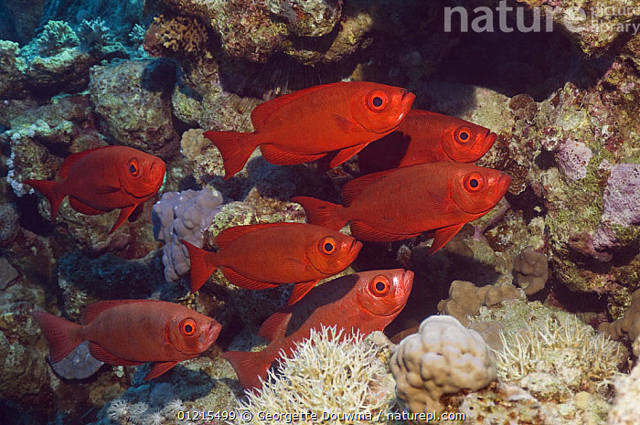 Big-eye or Goggle-eye (Priacanthus hamrur). Can change colour from deep red to silver. Egypt, Red Sea  ,  BIGEYES, CORAL-REEFS, FISH, GROUPS, MARINE, OSTEICHTHYES, RED-SEA, TROPICAL, UNDERWATER, VERTEBRATES  ,  Georgette Douwma