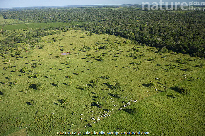 Aerial view of cattle grazing on pasture land taken from Amazon upland (Terra-firme) rainforest, Rond�nia State, Brazil., AERIALS,BRAZIL,DEFORESTATION,LANDSCAPES,LIVESTOCK,SOUTH AMERICA,TROPICAL RAINFOREST,SOUTH-AMERICA, Luiz Claudio Marigo