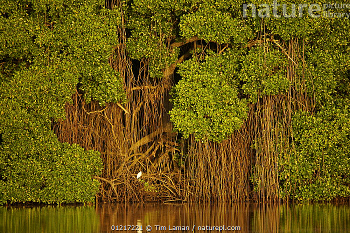 Early morning light illuminates a wall of Red mangroves (Rhizophora mangle) at the edge of a lagoon in Caroni Swamp. A single juvenile little blue heron (Egretta caerulea) perches in the mangroves. Caroni Bird Sanctuary, Trinidad.  ,  BIRDS,CARIBBEAN,COASTS,HERONS,LANDSCAPES,MANGROVES,RESERVE,ROOTS,TREES,WATER,WEST INDIES,Plants  ,  Tim Laman
