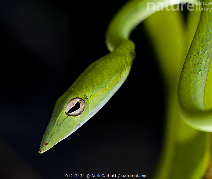 Oriental whip / Vine / Long nosed tree snake (Ahaetulla prasina) Bako NP, Sarawak, Borneo, Malaysia  ,  ASIA,COLUBRIDS,EYES,FACES,GREEN,PORTRAITS,REPTILES,RESERVE,SNAKES,TROPICAL RAINFOREST,VERTEBRATES  ,  Nick Garbutt