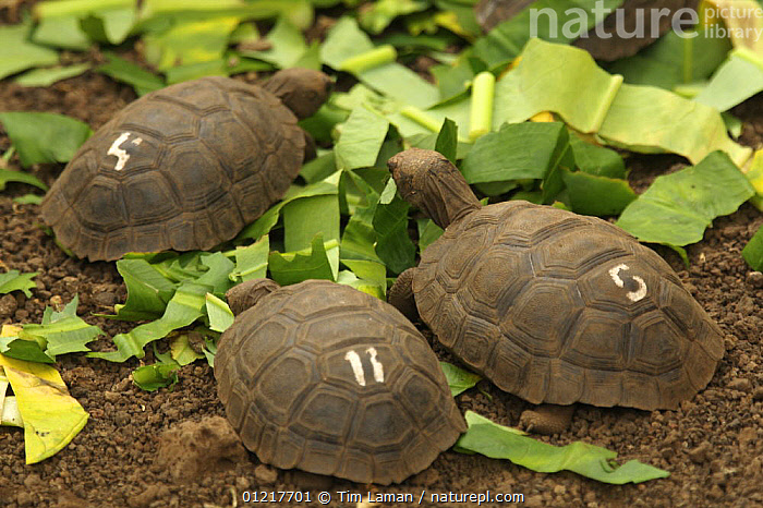 Young Galapagos giant tortoises (Geochelone nigra / Geochelone elephantopus) at the captive breeding facility at the Charles Darwin Research Station, Santa Cruz Island, Galapagos Islands., CHELONIA,ENDANGERED,FEEDING,GALAPAGOS,JUVENILE,PACIFIC ISLANDS,REPTILES,THREE,TORTOISES,VERTEBRATES, Tim Laman
