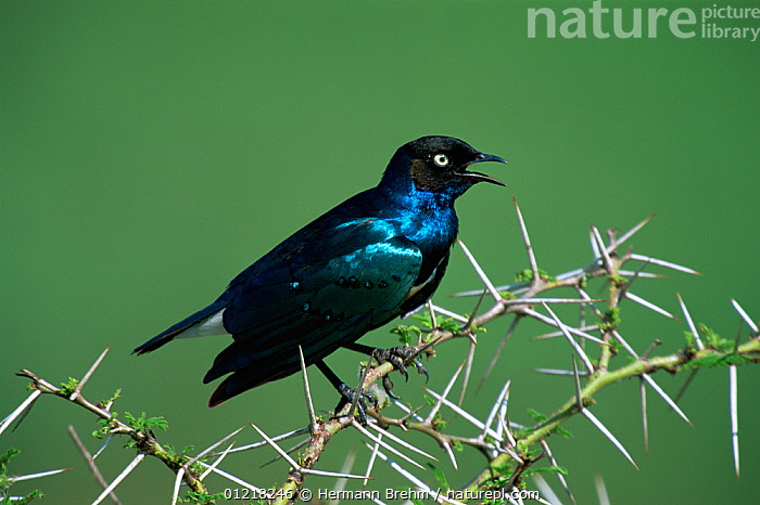 Superb starling (Lamprotornis superbus) perched in Acacia tree, calling, Africa., AFRICA, BIRDS, BLUE, IRIDESCENT, PORTRAITS, PROFILE, STARLINGS, THORNS, VERTEBRATES, VOCALISATION, Hermann Brehm