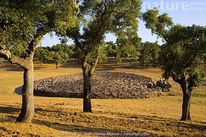 Drying cork bark that has been stripped from the trunk of Cork oak trees {Quercus suber} Badajoz, Extremadura, Spain  August 2007  ,  COMMERCIAL,CROPS,DICOTYLEDONS,EUROPE,FAGACEAE,HARVESTING,LANSCAPES,PLANTATIONS,PLANTS,SPAIN,TREES  ,  Juan Carlos Munoz