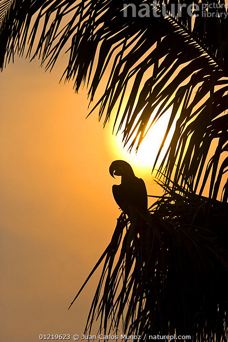 Hyacinth macaw (Anodorhynchus hyacinthinus) perched in palm tree, silhouetted at sunset, Pantanal NP, Mato Grosso, Brazil, sequence 1/3. Endangered  ,  BIRDS,BRAZIL,ENDANGERED,MACAWS,PALMS,PARROTS,RESERVE,SILHOUETTES,SOUTH AMERICA,SUN,SUNSET,VERTEBRATES,VERTICAL  ,  Juan Carlos Munoz