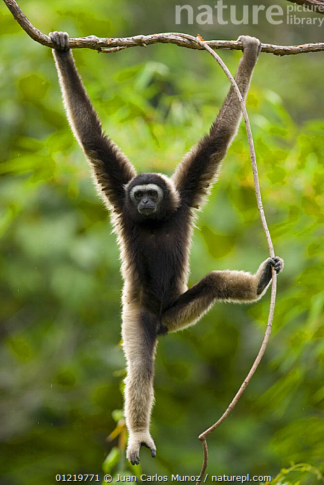 Grey gibbon (Hylobates muelleri) swinging from branch in rainforest and using foot to grip plant vine, Mount Kinabalu NP, Sabah, Borneo, Malaysia, ARBOREAL,ASIA,BEHAVIOUR,BORNEO,BRACHIATION,GIBBONS,GREAT APES,HANGING,MALAYSIA,MAMMALS,RESERVE,TROPICAL RAINFOREST,VERTEBRATES,VERTICAL,Apes,Catalogue1, Juan Carlos Munoz