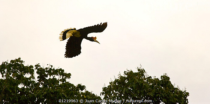 Nature Picture Library Rhinoceros Hornbill Buceros Rhinoceros Flying Mount Kinabalu Np Sabah Borneo Malaysia Juan Carlos Munoz