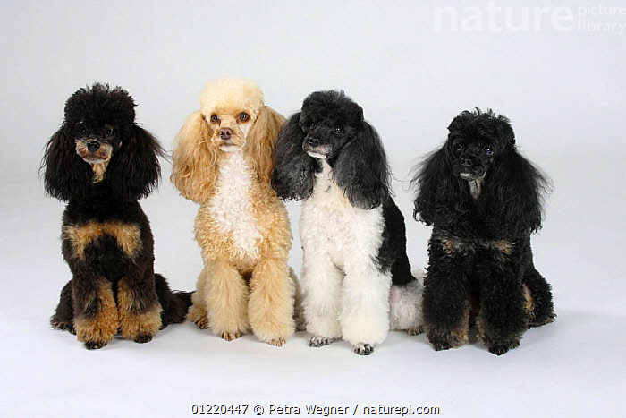Nature Picture Library - Miniature Poodles, black-and-tan
