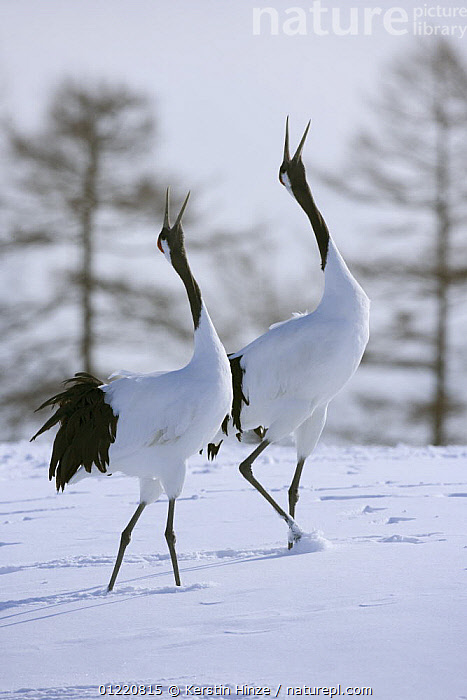 Japanese / Red-crowned crane (Grus japonensis), pair displaying, calling, in snow, Tsurui-Ito Tancho Sanctuary, Hokkaido, Japan, ASIA,BEHAVIOUR,BIRDS,CRANES,DISPLAY,ENDANGERED,JAPAN,MALE FEMALE PAIR,MATING BEHAVIOUR,RESERVE,SNOW,TWO,VERTEBRATES,VERTICAL,VOCALISATION,WINTER,Reproduction,Communication, Kerstin Hinze