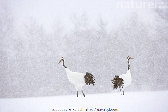 Japanese / Red-crowned crane (Grus japonensis) two cranes in a snow-covered landscape, Tsurui, Kushiro-Shitsugen National Park, Hokkaido, Japan, ASIA,BIRDS,CRANES,ENDANGERED,JAPAN,RESERVE,SNOW,SNOWING,VERTEBRATES,WINTER, Kerstin Hinze