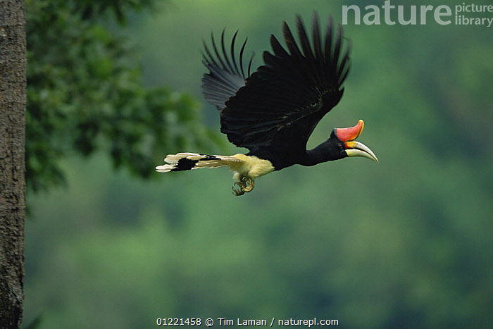 Nature Picture Library Rhinoceros Hornbill Buceros Rhinoceros Flying From Nest Hole Budo Sungai Padi National Park Thailand Tim Laman
