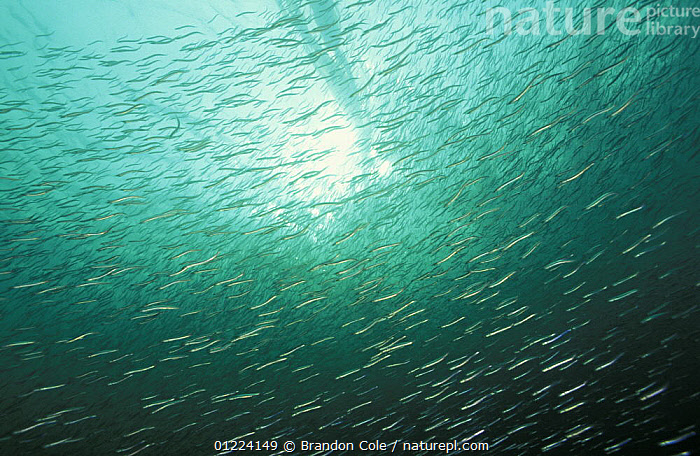 Shoal of Pacific sand eels / lances (Ammodytes hexapterus). British Columbia, Canada, Pacific Ocean.  NOT FOR SALE IN THE USA  ,  FISH,GROUPS,LOW ANGLE SHOT,MARINE,MASS,OSTEICHTHYES,PACIFIC SAND LANCE,SAND EELS,TEMPERATE,UNDERWATER,VERTEBRATES,NORTH AMERICA  ,  Brandon Cole