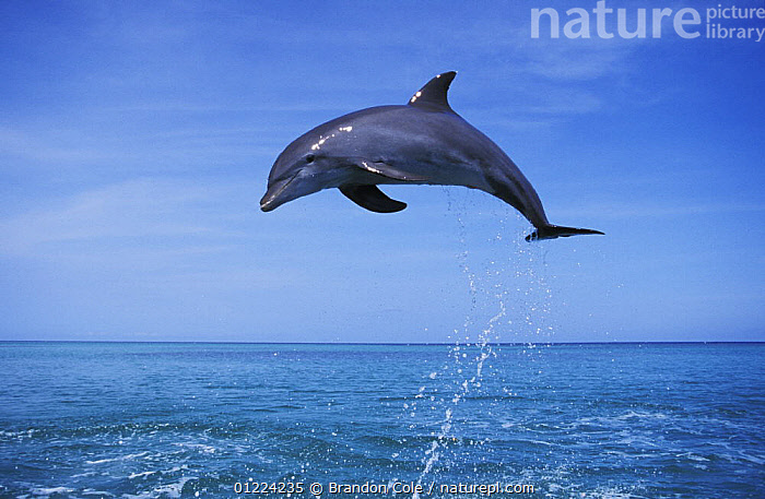 Bottlenose dolphin (Tursiops truncatus) leaping. Honduras, Caribbean Sea.